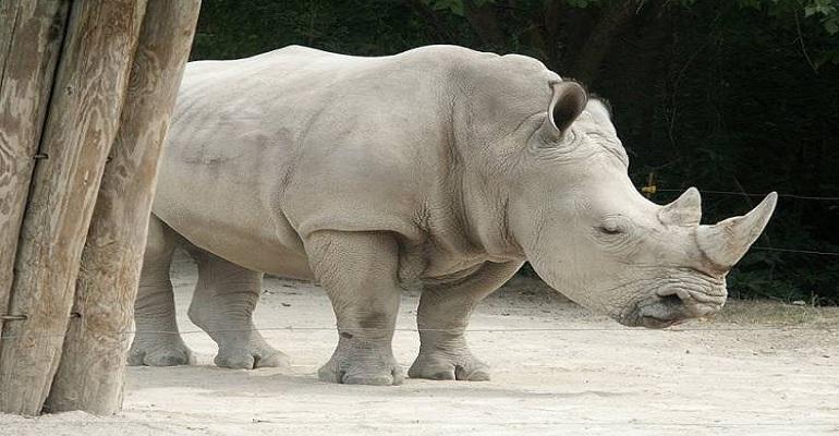 حقيقة وصول سعر قرن خرتيت حديقة حيوان الجيزة لـ 100 مليون دولار – كايرو بريس